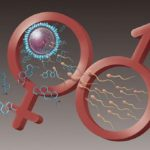 Tinh trùng của người bố tác động tới quá trình thụ thai và giới tính thai nhi như thế nào?